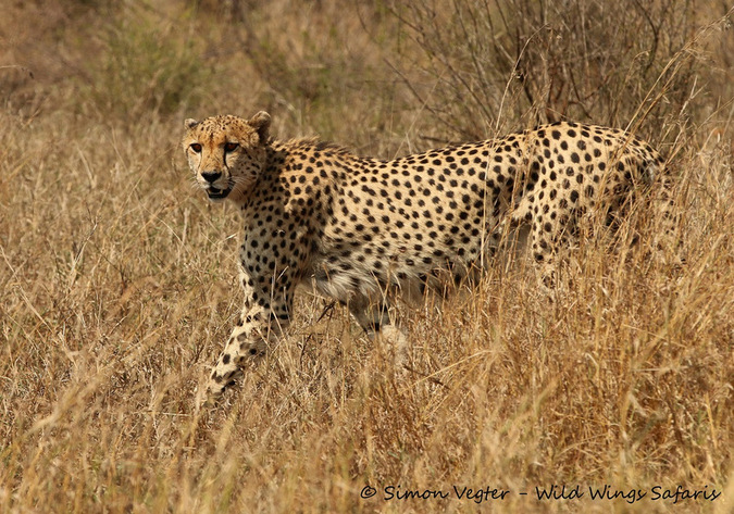 Cheetah walking in tall grass in bushveld