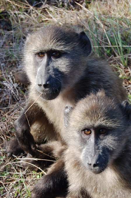 Two chacma baboons