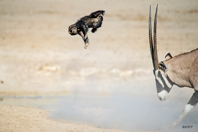 Honey badger flying through the air with oryx in Etosha National Park in Namibia