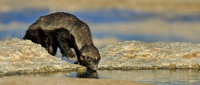 Honey badger drinking water in Etosha National Park in Namibia