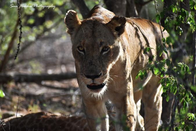 Half-blind mother lioness