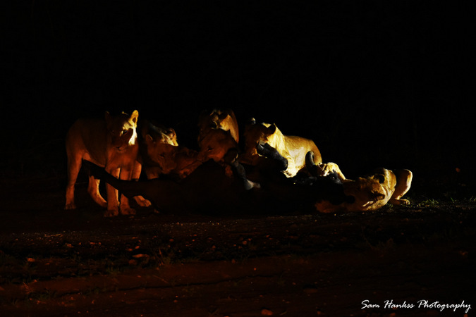 Six lions bringing down a male buffalo in Greater Kruger, South Africa