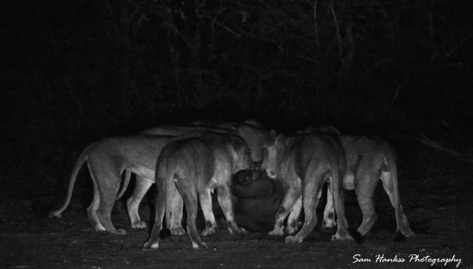 Lions eating a buffalo in Greater Kruger, South Africa