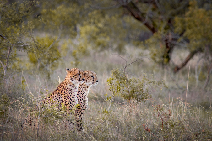 Two cheetahs in Manyoni Private Game Reserve, South Africa