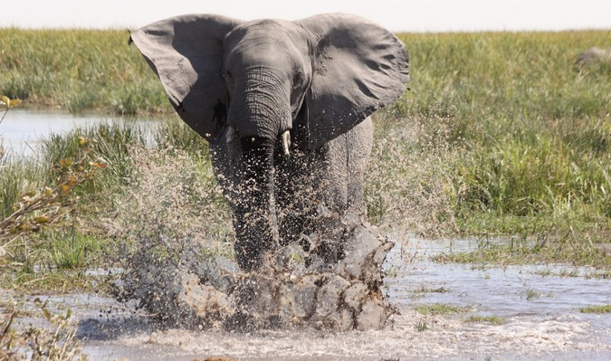 Elephant going through the water in Botswana