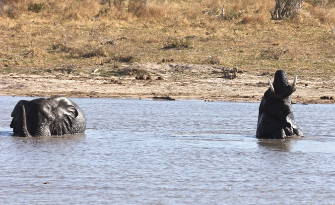 Elephants in water in northern Botswana