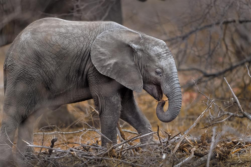 Elephant calf feeding