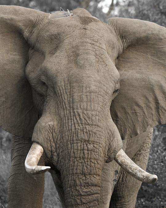 Elephant in Ruaha National Park, Tanzania