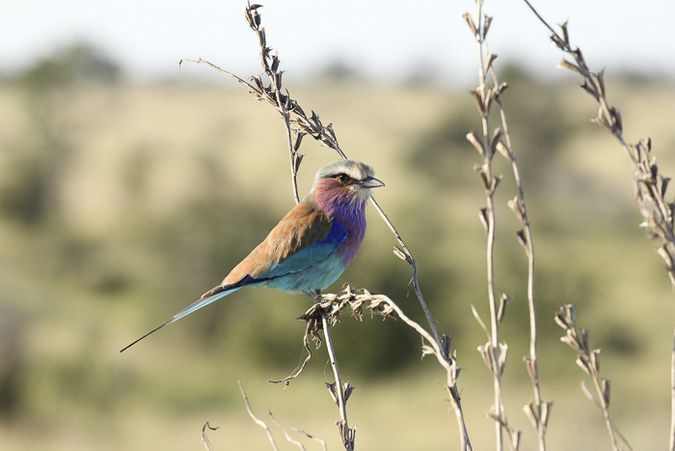 Bird in Ruaha National Park, Tanzania