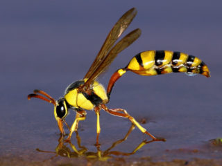 A wasp at a water tap in Kgalagadi Transfrontier Park, Botswana © Fanie Heymans