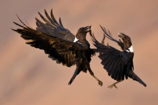 Two white-necked ravens fighting over a bone at Giants Castle, Drakensberg, South Africa © Fanie Heymans