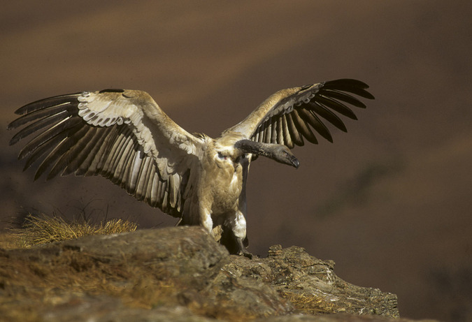 Cape vulture at Drakensberg