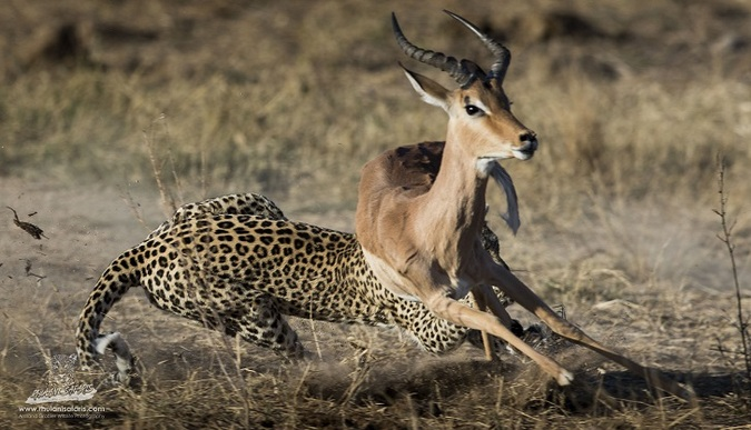 Impala escapes leopard's grip in Kruger National Park, South Africa