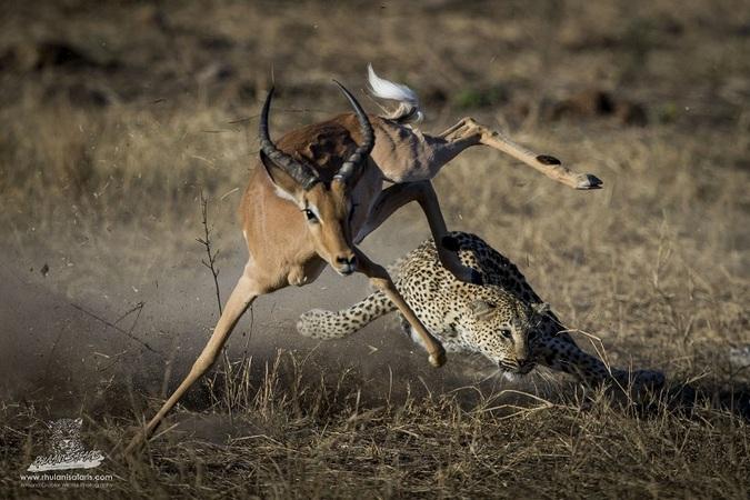 Leopard hunting impala in Kruger National Park, South Africa
