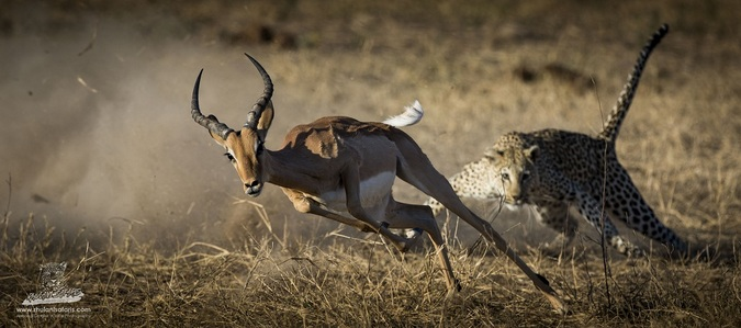 Leopard running after impala in Kruger National Park, South Africa