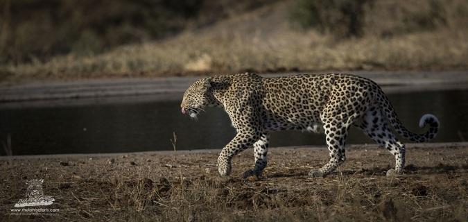 Walking leopard in Kruger National Park, South Africa