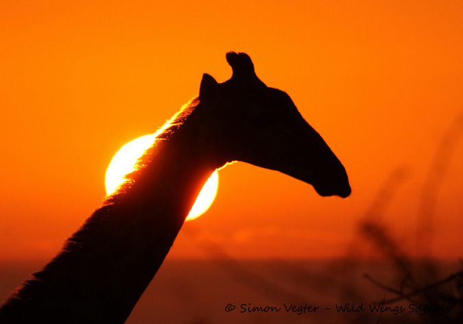 Giraffe against sunset in the wild