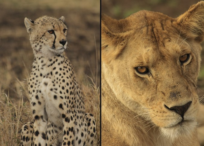 Cheetah and lion in Ruaha National Park, Tanzania
