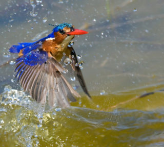 'Failed hunt' by a malachite kingfisher in Rietvlei Wetland Reserve, Cape Town, South Africa © Hennie Cilliers