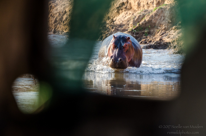 Hippo charging through river in South Luangwa National Park, Zambia