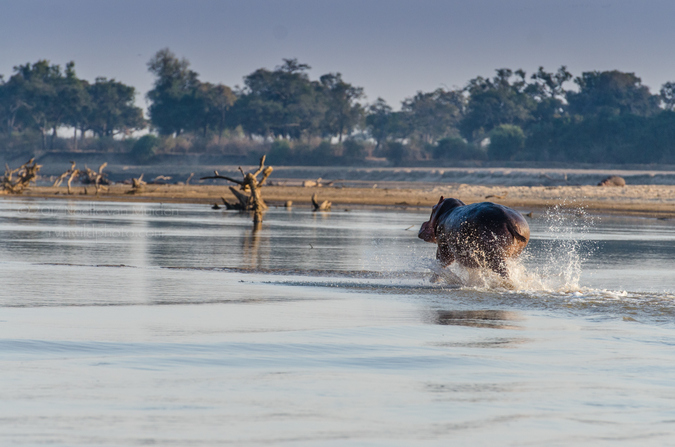 Hippo running through river in South Luangwa National Park, Zambia