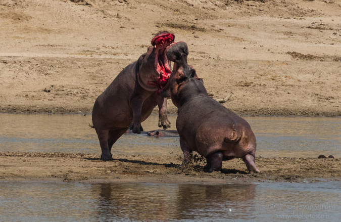 Two hippos fighting in South Luangwa National Park, Zambia