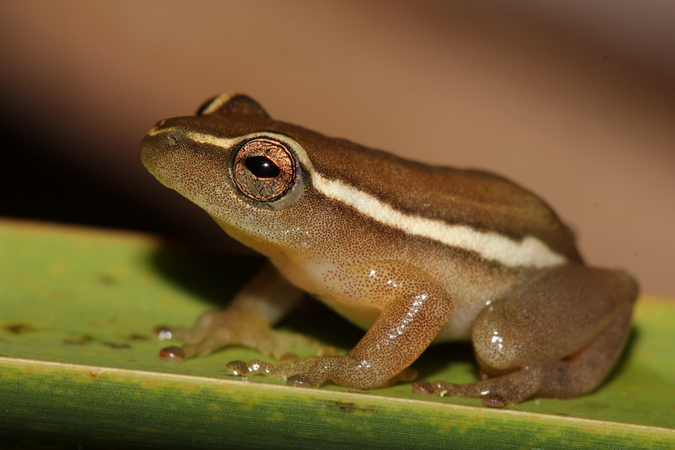 Pickersgill's reed frog