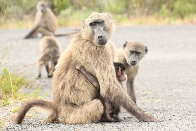 Troop of chacma baboons on road
