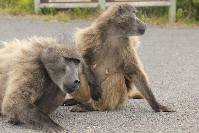 Two chacma baboons on road