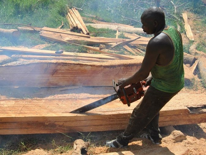An illegal logger uses a power saw to process timber from an old fig tree for commercial purposes