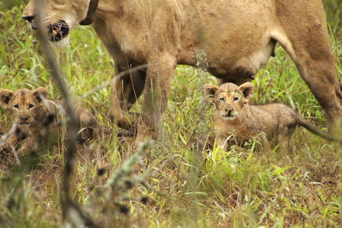 Two lion cubs and mother in Somkhanda Community Game Reserve in South Africa