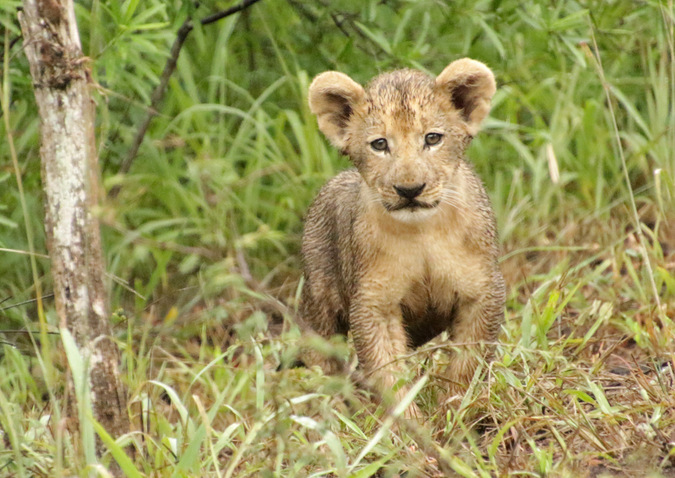 Lion cub staring at camera in Somkhanda Community Game Reserve in South Africa