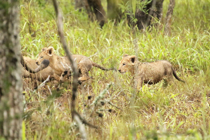 Three lion cubs following their mother in Somkhanda Community Game Reserve in South Africa