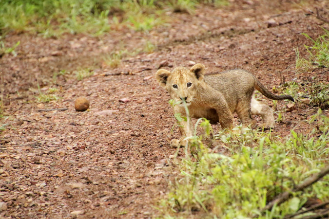 Very young lion cub in Somkhanda Community Game Reserve in South Africa