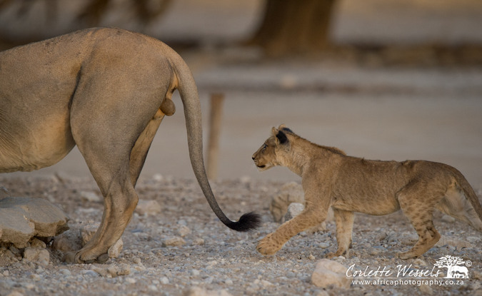 Young cub eyeing the balls of a male lion in Kgalagadi Transfrontier Park in Botswana