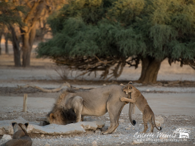 Young cub biting male lion on back in Kgalagadi Transfrontier Park in Botswana