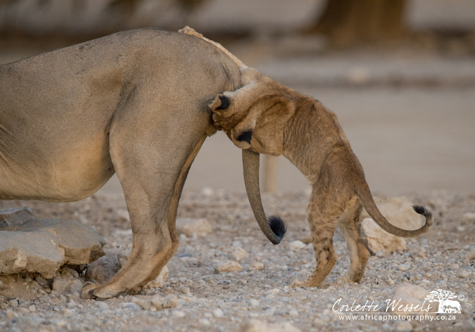 Young cub biting male lion's balls in Kgalagadi Transfrontier Park in Botswana