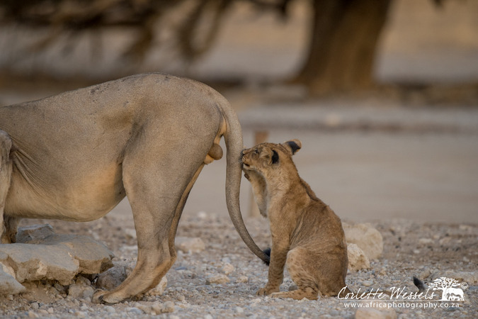 Young cub fooling around with tail of male lion in Kgalagadi Transfrontier Park in Botswana
