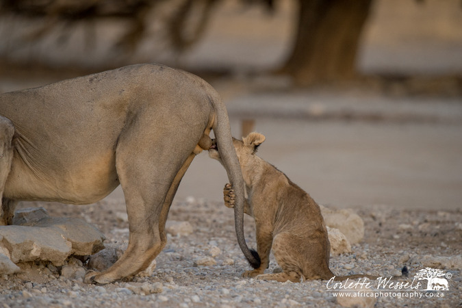 Lion cub biting balls of male lion in Kgalagadi Transfrontier Park in Botswana