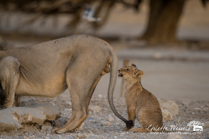 Young cub staring at male lion's balls in Kgalagadi Transfrontier Park in Botswana