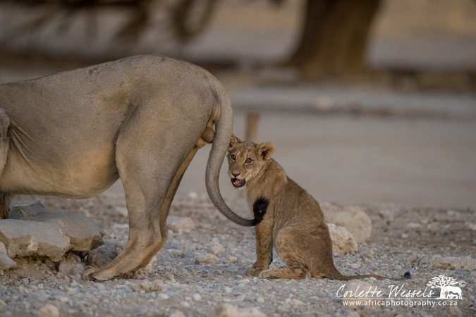 Young cub and male lion in Kgalagadi Transfrontier Park in Botswana