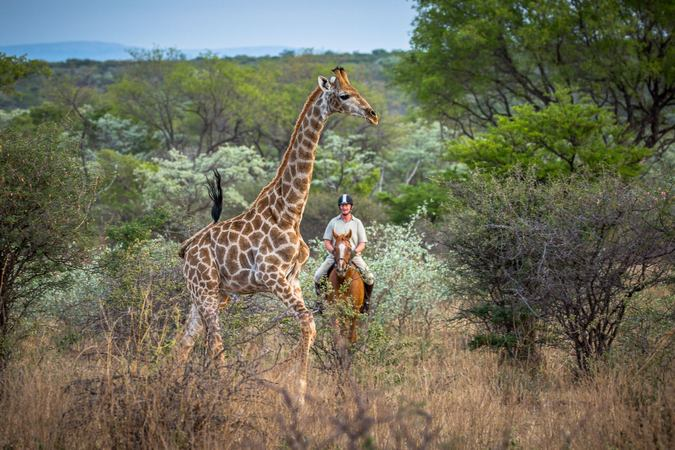 Horse rider on safari with giraffe