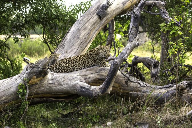 Leopard mother with cub sitting on fallen tree in Okavango Delta in Botswana