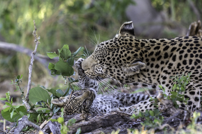 Leopard mother with cub in Okavango Delta in Botswana