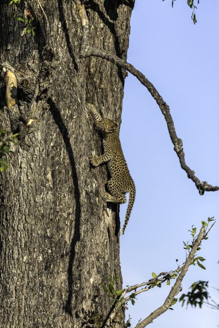 Leopard cub climbing down leadwood tree in Okavango Delta in Botswana