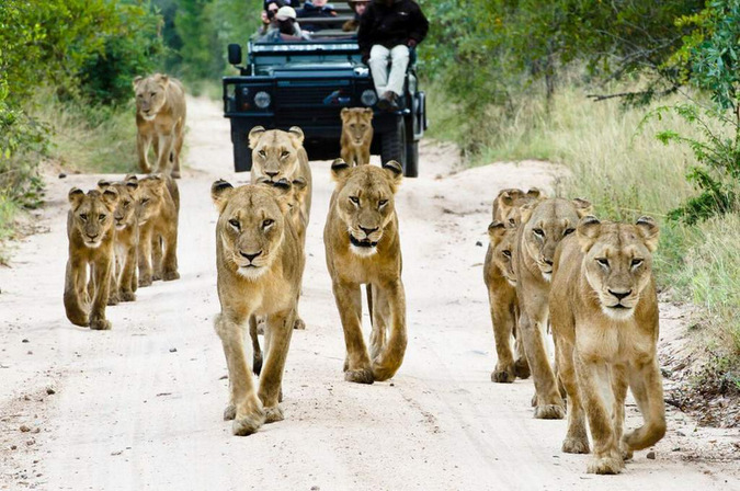 Family of lions walking down road with game drive vehicle