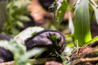 Close up of a mountain gorilla's hand in Bwindi Impenetrable National Park, Uganda © Martin Fromer