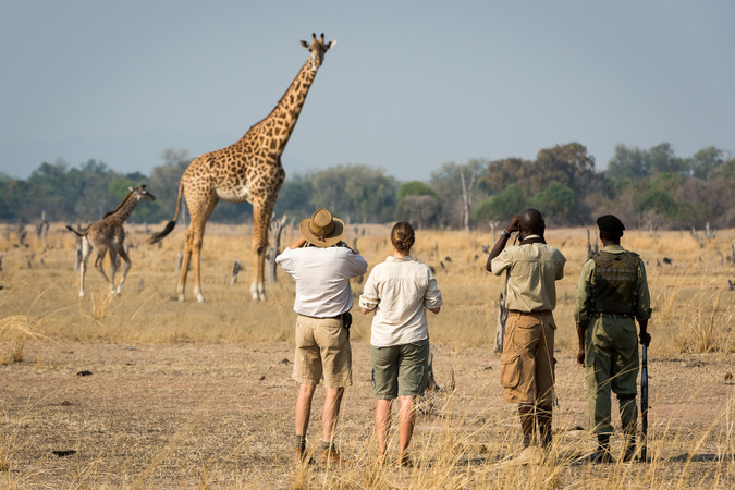 Giraffe with safari guests
