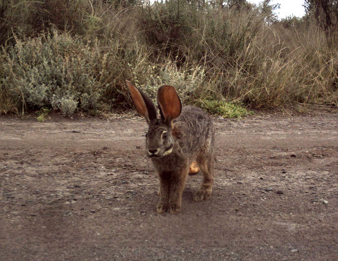 Riverine rabbit in the Karoo, South Africa