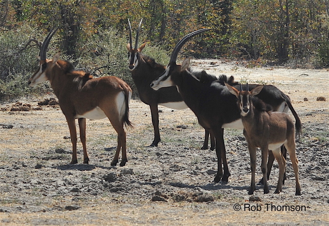 Sable antelope in Botswana